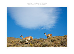 Guanaco and clouds (www.sicilylandscape.com) Tags: patagonia guanaco torresdelpaine cile