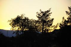Chinese elm and incense cedar (Narodnie Mstiteli) Tags: cedar incense mistletoe nature trees sunset reno nevada