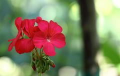 Flowers, Morton Arboretum. 78 (EOS) (Mega-Magpie) Tags: canon eos 60d nature flower flowers red green bokeh the morton arboretum lisle dupage il illinois usa america beauty beautiful love lovely bonny gorgeous stunning seemly fair outdoors