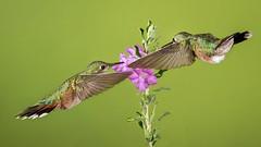 Broad-tailed Hummingbirds (Eric Gofreed) Tags: arizona broadtailedhummingbird cocoinocounty hummingbird oakcreekcanyon