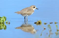 In my Oikos - No meu Oikos (Yako36) Tags: portugal bidos bird ave birdwatching nature natureza tc14e nikonafs300f4 nikond7000