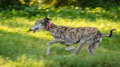 Aunt Cordelia's first zoomies with us :) // 5026 (markiisi) Tags: etelhaagankoirapuisto dogpark dogrun koirapuisto sunshine sighthound finland etelhaaga dog galgoespaol galga silkenwindhound helsinki latesummer august