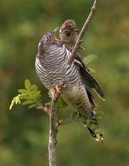 Juvenile cuckoo (OWL62) Tags: nikon devon dartmoor migration meadowpipit cuckoo
