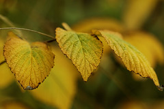 Autumn is coming... (Carahiah) Tags: nature macro feuilles feuille jaune automne autumn jaunies couleur leaves leave yellow