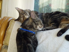 Snooze Time ! (Mara 1) Tags: cat kittens pets animals indoors tabby stripes black grey fawn coat fur window white blinds blue collar