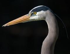 Portrait of a Great Blue Heron (Melis J) Tags: bird cbbr florida greatblueheron heron herons nikon d810