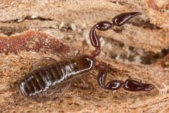 Pseudoscorpion 2 (zosterops) Tags: australia tasmania hobart domain bioblitz extinctionmattersbioblitz september32016 canoneos6d canonmacrolensmpe65 macro arachnida pseudoscorpionida pseudoscorpion