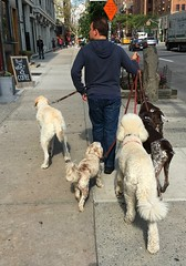 Dog Walker (sfPhotocraft) Tags: nyc newyork dogwalker sidewalk job 2016 dogs