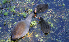 Regurgitation (iansand) Tags: warriewood moorhen regurgitation
