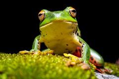 Rhacophorus moltrechti - 莫氏樹蛙 - Taiwan Endemic tree frog - Olympus 30mm F3.5 Macro (鴨片攝影 Akira Hsu) Tags: olympus mzd m43 30mm f35 macro 微距鏡 樹蛙 莫氏樹蛙 tree frog pen omd epl5 rhacophorus moltrechti taiwan endemic 動物