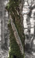 Etroitement enlacs (mrieffly) Tags: arbres flouartistique bichromie canoneos50d