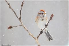 American Tree Sparrow in Snowstorm (Daniel Cadieux) Tags: sparrow americantreesparrow snow snowing blizzard snowstorm winter cold wind windy