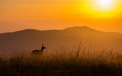 watching the sunrise (explored) (ciwi8) Tags: vosges vogesen chamois sunrise morning light firstsunlight gams mountains mountain gebirge france frankreich natur tiere animal wildetiere horn hrner geweih horns