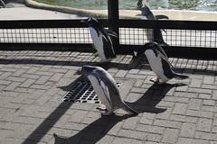 Penguin Parade! (Bebopgirl1969) Tags: penguin edinburghzoo