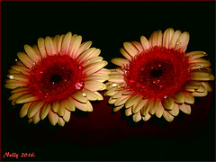 *Duo... (MONKEY50) Tags: flowers petals art nature digital pentaxart gerbera daisy red colors plant drops flickraward macro musictomyeyes pentaxflickraward autofocus contactgroups soe mixofflowers exquisiteflowers exoticimage