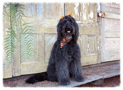 Background Check (Bennilover) Tags: losrioshistoricdistrict sanjuancapistrano benni halloween eyes contact portrait dog dogs labradoodle black fun bennigirl