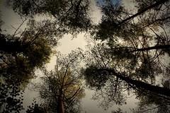 283.365.2016 (johnny the cow) Tags: trees treetops autumn woodland sky silhouettes blackcovert trawscoed trawsgoed ystwyth llanafan ceredigion wales cymru aberystwyth 365 366 2016 catalogue collection diary photo aphotoaday