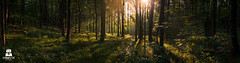 Feel the story (SYNAPSTIC photography) Tags: wald nussdorf nikon d750 fx austria sterreich wood sunrise sunlight flare trees mood panorama