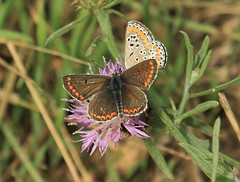 Brown Argus Butterflies (andyt1701) Tags: jersey butterfly
