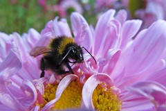 eat enough before Winter... ) (green_lover) Tags: bumblebee trzmiel insects animals aster flowers macro nature pink