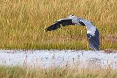 Preparing for Lunch (Denis Moynihan) Tags: heron bird fly wings broadmeadow estuary donabate fingal dublin ireland mud flats lagoon nature outdoor travel