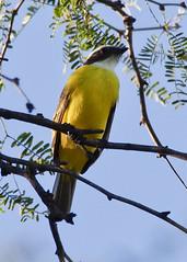 Social Flycatcher B075448focPr (jvpowell) Tags: alamos mexico socialflycatcher sonora