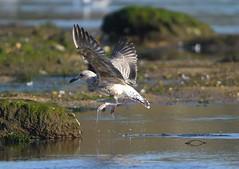 MRC_3159 - Gaviota - Seagull @ 63 m (Obsies) Tags: birds birdsofspain gaviota seagull birdsinflight bif pajarosalvuelo