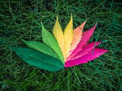 Autumn shades... (Hasan Yuzeir) Tags: autumn shades leaf color grass nature tree hasanyuzeir lg k8