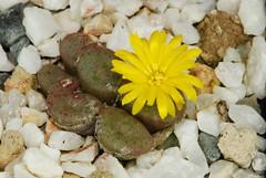 2 octobre 2016 - Conophytum irmae MRO45 (Mafate79) Tags: 2016 conophytumirmae conophytum irmae mro45 aizoaceae aizoaces aizoace mesemb mesembryanthemaceae mesembryanthemaces mesembryanthemace sectionminuscula plante fleur