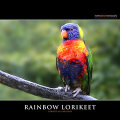 RAINBOW LORIKEET (Matthias Besant) Tags: animal tier head kopf natur nature bill schnabel face gesicht coloured farbig bird vogel art bunt colourful farbenfroh pied feather feder body federn tierfotografie parrot federkleid papagei aves krper tierfoto feathering keilschwanzlori rainbowlorikeet gebirgslori allfarblori gebirgsallfarblori animalphotography deutschland ~themagicofcolours~xv
