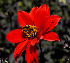 Bumblebee in red / Hummel in Rot (konstantin oxy) Tags: hummel blumen red rot bumblebee