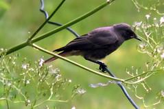Common Redstart, Phoenicurus phoenicurus (asterisktom) Tags: 2016 trip2016kazakheuro july germany kahl bavaria bayern commonredstart redstart phoenicurusphoenicurus