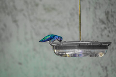 Anna's hummingbird on the feeder - selective color (randyherring) Tags: ca california patio wildlife backyard nature bird afternoon selectivecolor outdoor hummingbird annashummingbird birdfeeder sanjose