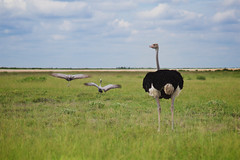 Ostrich , Etosha National Parc, Namibia (Alex_Saurel) Tags: savanna autruche girafe dry color nature afrique africa animal photojournalism group day outdoor twiga southernafrica hot afriqueaustrale 85mmf14za