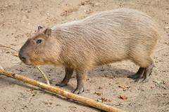 2016-10-08-14h32m44.BL7R1974 (A.J. Haverkamp) Tags: canonef100400mmf4556lisiiusmlens krefeld nordrheinwestfalen germany capybara dierentuin httpwwwzookrefeldde zoo de