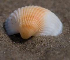 Seashell on seashore (kimbenson45) Tags: shell brown ridged white grains differentialfocus closeup ridges beach lines macro seashore pattern shallowdepthoffield seashell sand orange australia queensland pacificocean