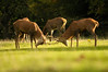 Red Deer Play Rutting