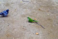 COLOM I COTORRA ARGENTINA (Yeagov C) Tags: colom cotorraargentina cotorra 2016 barcelona catalunya ocell au montjuc miradordelalcalde