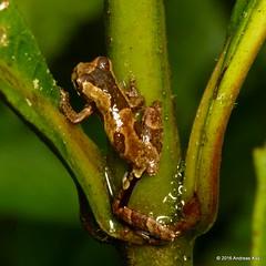 Dendropsophus parviceps (Ecuador Megadiverso) Tags: andreaskay ecuador amazon amphibian anura dendropsophusparviceps frog hylidae puyo rainforest ursula