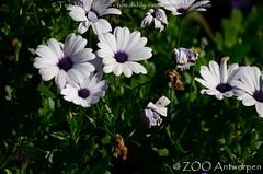 Spaanse margriet - Osteospermum ecklonis - Cape marguerite (MrTDiddy) Tags: spaanse margriet osteospermum ecklonis cape marguerite bloem boemen flower flowers plant zooantwerpen zoo antwerpen antwerp