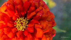 Red flower (Milen Mladenov) Tags: 2016 d3200 nikon october flowers macro macrofilter outdoor outside red stamen stamens yellow
