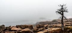 It's Not Always Easy (rickhanger) Tags: nature nationalpark landscape ocean fog foggy oceanfog tree lonetree rocks shoreline one 1 single alone acadia acadianationalpark acadianp