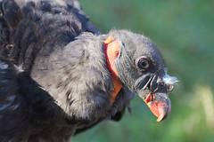 IMG_4543 (minions) Tags: rambouillet 2016 parc animaux rapace vautour pape