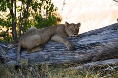Lazy Days (wallisaway) Tags: lioness lion okavango botswana safari africa predator bigcat