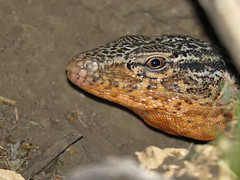 Iguana chilena macho (Callopistes maculatus) antes de dejar su madriguera. (Pablo Moreno V) Tags: iguanachilena dwarftegu callopistesmaculatus callopistespalluma reptil lagarto chile