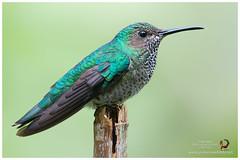 White-necked Jacobin / Jacobino Nuquiblanco -  (Panama Birds & Wildlife Photos) Tags: hummingbird hummingbirds colibr colibres visitaflor picaflor picaflores panama panamabirds panamawildlife avesdepanama aves birdsofpanama