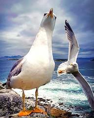 Asedio. (Esteban Alonso P.) Tags: baiona gaviotas seagulls fortalezamonterreal aves birds islasces cesislands ocanoatlntico atlanticocean cielo sky