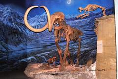 Woolly Mammoth (Mammuthis primigenius) andSaber-toothed Cat (Smilodon fatalis) (Gerald (Wayne) Prout) Tags: woollymammoth mammuthisprimigenius animalia chordata synapsida mammalia proboscidea elephantidae mammulus prehistoric pleistocene earlyholocene johannfriedrichblumenback 1799 herbivore eurasia northamerica hebiorwisconsin hebior lateionian iceage fossil mountedskeleton sabretoothedcat royaltyrrellmuseumofpalaeontology midlandprovincialpark drumheller alberta canada prout geraldwayneprout canon canoneos40d
