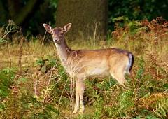 Doe (Dieseldog05) Tags: deer bradgate park leicestershire england panasonic fz200 roe lumix