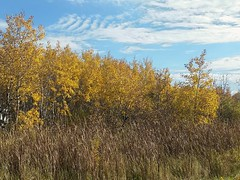 Times they are a-changing... (canadianlookin) Tags: autumn fall aspen poplar yellow gold leaves vita manitoba october 2016 season